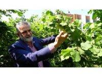 Korona virüsü sürecinde üreticiler bahçeye girdi, fındık kalitesinin yüksek olması bekleniyor