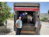 Ayaklarından yaralanan katır ve eşek, 'emekli hayvanlar çiftliğine' gönderildi
