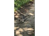 Artvin'de yılanların dansı saniye saniye görüntülendi