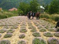 Rize'nin İkizdere ilçesinde dağ kekiği hasadına başlandı