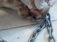 Köpeğin patisini delip zincir takan cani Bodrum'u ayağa kaldırdı