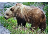 Ormanda ayı saldırısına maruz kalmamak için yapılması gerekenler