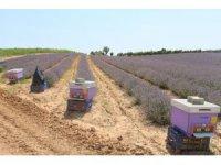 Lavanta üretimini arttırma çalışmaları