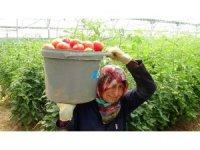 Sera domatesi, üreticisini üzdü