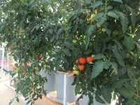 Topraksız tarımı teknoloji ile buluşturdular