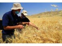Hububatta verimli yıl, hasat devam ediyor