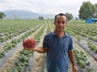 Çilek tarlasında okuduğu türkülerle işçileri motive ediyor