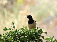 Ağrı Dağının eteklerinde  kuş sürüsünün çekirge avı görüntülendi
