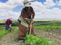 İstanbul'un en güzel köylerinden Tosunköy'de çiftçilik hala geçim kaynağı