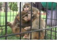 Down sendromlu maymuna kardeş şefkati