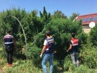 Uyuşturucu yetiştirdikleri çiftliği pitbull ve kangal köpekleriyle korudular