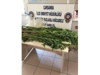 75 kök kenevir bitkisi ele geçirildi