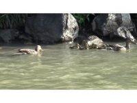 Yavruları ölen anne ördeğin annelik duygusu