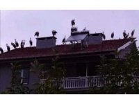 Leylekler çatılarda göç molası verdi