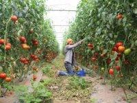 Domates hasadında, köy nüfusu kadar kişiye istihdam