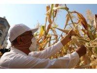 Kentin ortasında mısır hasadı sevinci