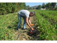 Kuşadası'nda Adabahçe'de hasat heyecanı