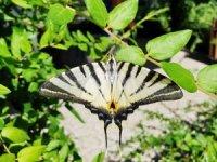 Çatal Kuyruklu Kelebek ilgi odağı oldu