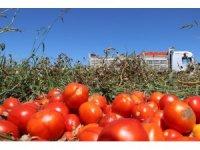 Manisa'da domatesler tarlada kaldı
