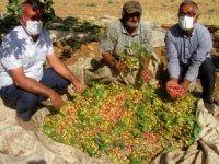 'YEŞİL ALTIN' olarak bilinen fıstık hasadı düşük fiyat nedeniyle buruk başladı.