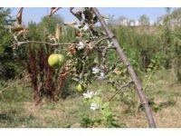 Üzerinde meyve varken çiçek açan ağaç şaşırttı