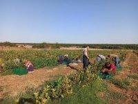 Kanseri önleyici süper meyve aronianın hasadı başladı