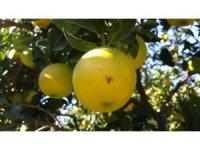 Aydın'da Akdeniz Meyve Sineği ile mücadele başladı