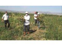 Muş'ta devlet destekli kuru fasulyenin hasadına başlandı