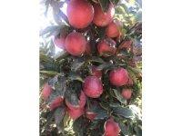 Mut elması Hindistan'a ihraç ediliyor