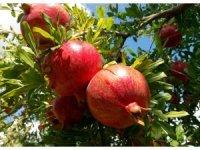Adıyaman Nar'ını Türkşeker Tarım satın alacak