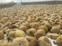 Aydın'da kuru incir ihracatı başladı
