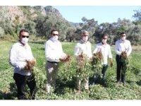Marmaris Belediyesi ilk yerfıstığı hasadını yaptı