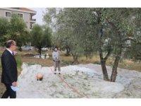 Turgutlu Belediyesi zeytin hasadına başladı