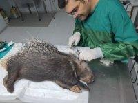 Muğla'da yaralı bulunan oklu kirpi tedaviye alındı