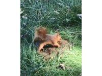 Hamarat sincap kışlık yiyeceğini böyle gömdü