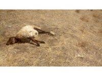 Kurtlar sürüye saldırdı: 30 koyun telef, 50'si kayıp