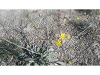 Dünyada sadece Salda Gölü kıyısında bulunan iki bitki türü koruma altına alındı