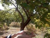 Ağustos'ta hasadı bitti, Ekim ayında meyve verdi