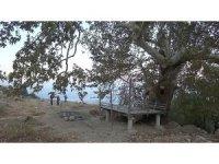 5 asırlık ağaç koruma altına alındı