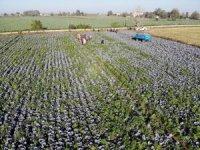 Bafra Ovası'nda lahana hasadı başladı