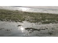 Karşıyaka sahili deniz marullarıyla doldu