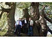 Kütahya'daki asırlık kestane ağaçlarında hasat