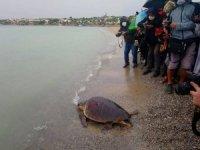 Tedavisi yapılan caretta caretta Didim Altınkum'da denize bırakıldı