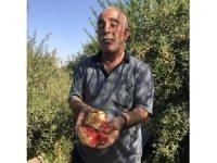 Suriye sınırında nar hasadı başladı