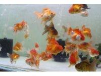 Korona virüs akvaryum balığı ithalatını vurunca fiyatlar yüzde 100 arttı