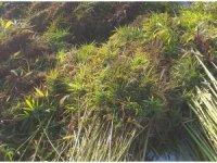 Kenevir bitkisi üreten alanlar denetlendi