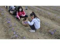 Safranbolu'da öğrenciler safran topladı