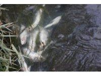 Şüpheli balık ölümü sanıldı ama gerçek sonra ortaya çıktı