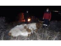 Ayağı kırılan inek dağda mahsur kaldı: Köylüler helikopterle kurtarılmasını istiyor