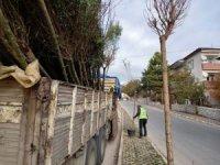 Safranbolu'da 153 adet akasya fidanı toprakla buluşturuldu.